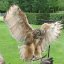 Bengalese Eagle Owl 3a