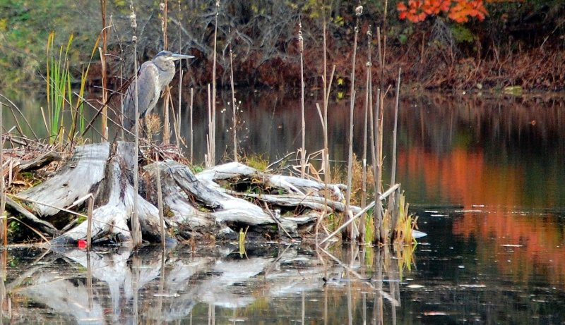 122.  Stumped: Great Blue Heron