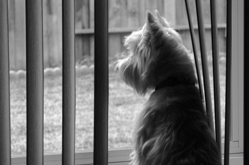 Wee Westie Longing for Squirrel Dinner