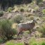 Desert Bighorn Sheep: Grand Canyon Nat. Park: S Kaibab Trail 2614