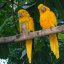 Two Golden Conures