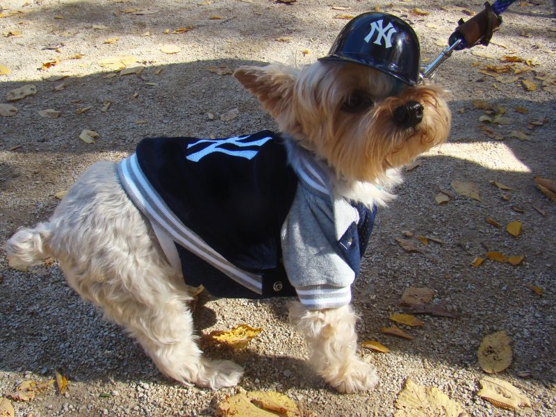 this dog hates the red sox