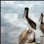 Two Brown Pelicans (Pelecanus occidentalis) with watercolor effect (not added)