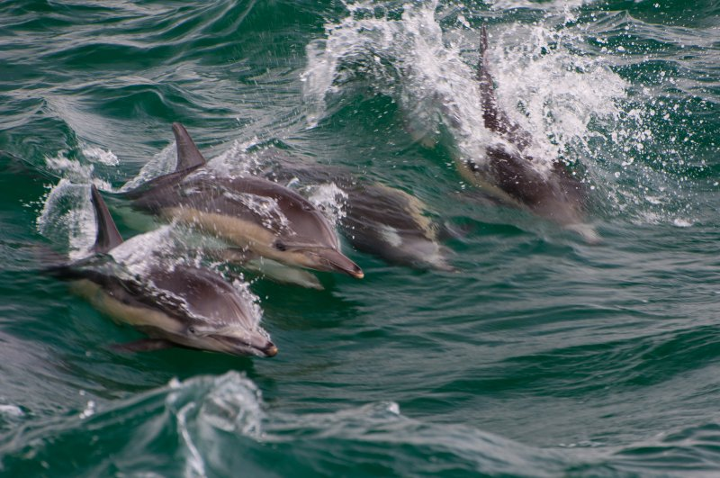 Dolphins (85/365)