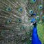 Pretty Peafowl