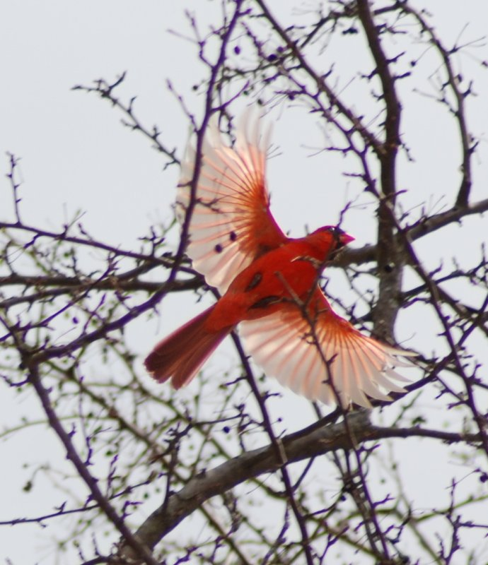 Cardinal doing the angel wing