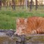 Roter Kater