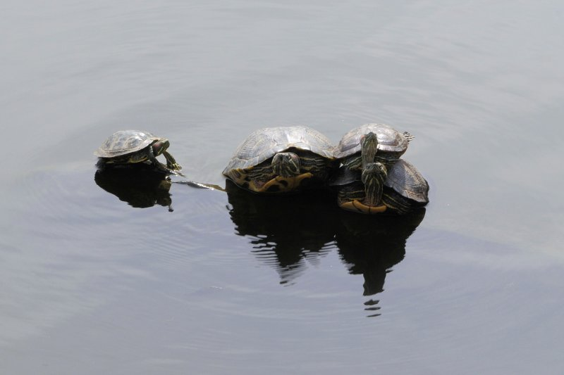 Cutest Terrapin Competition #2