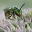 Augochloropsis metallica Halictid Bee on Autumn Sedum