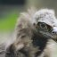 Portrait of a monk vulture