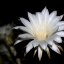 Nightblooming Cereus Cactus