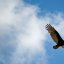 If you want to be inspired by an eagle, Okay, but it's really a turkey vulture.