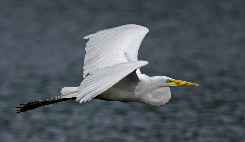 Egret (Ardea alba) in Flight