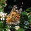 vanesse du chardon / painted lady