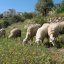 Sheep @ Nazareth Village_0721
