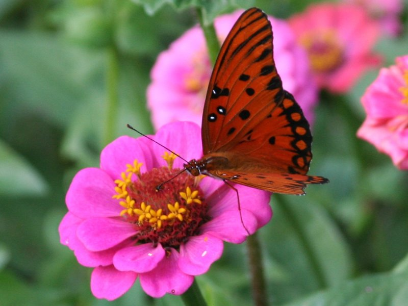 Butterfly on pink flower_2784c