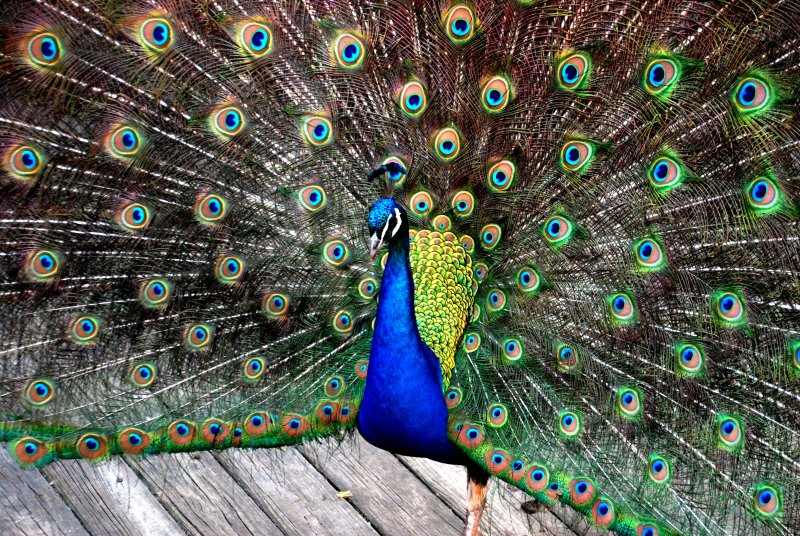 333e4  the fanned feather dance--from the front.....
