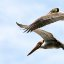 Brown Pelicans (pair), birds, off Morro Rock  nn-pelicans-1449-full