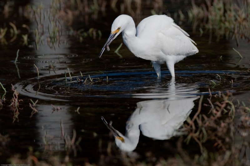 1 of 4 Snowy Egret (Egretta thula) with crab's pincher in its beak as finds Pickleweed (Sarcocornia pacifica) food to eat