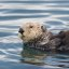 (2nd best of 3) Sea Otter (Enhydra lutris) mother with nursing  pup in the Morro Bay harbor