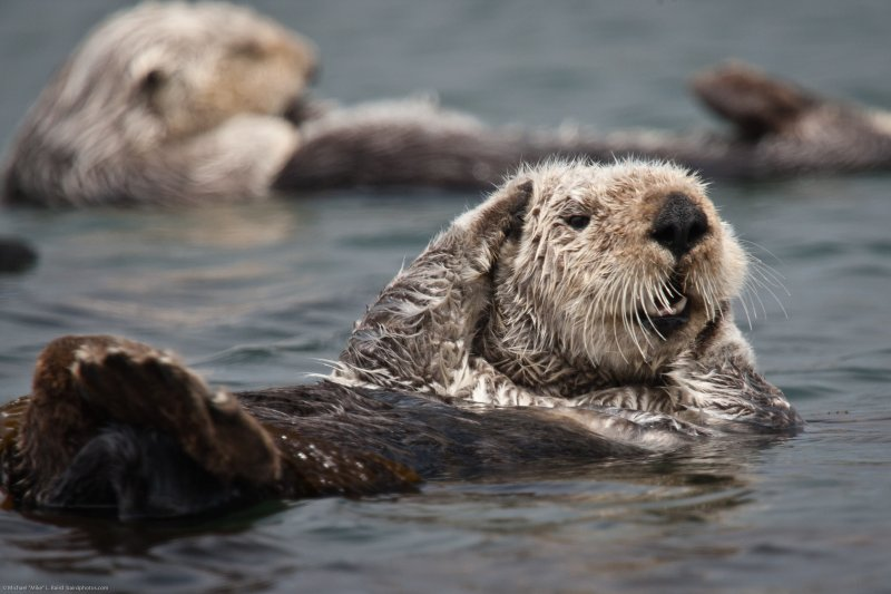(2 of 5) California Sea Otter (Enhydra lutris) resting in a colony of a dozen sea otters and wrapped in kelp