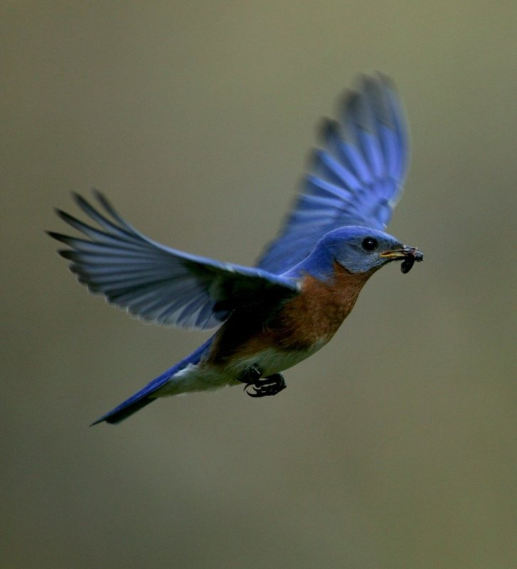 Eastern Bluebird with aquatic insect #3