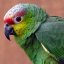Ecuadorian Amazon Red-Lored  Parrot