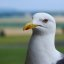 Sea gull portrait