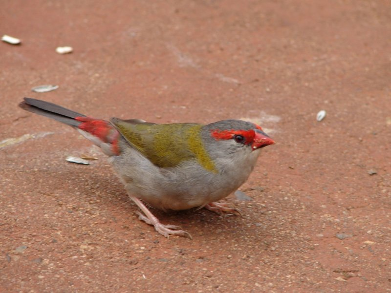 Red-Browed Firetail taking off
