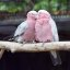Roseate Cockatoo or Galah