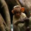 South India Monkeys
