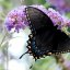 066e  swallowtail on butterfly bush