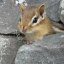 Petit suisse -- Little chipmunk