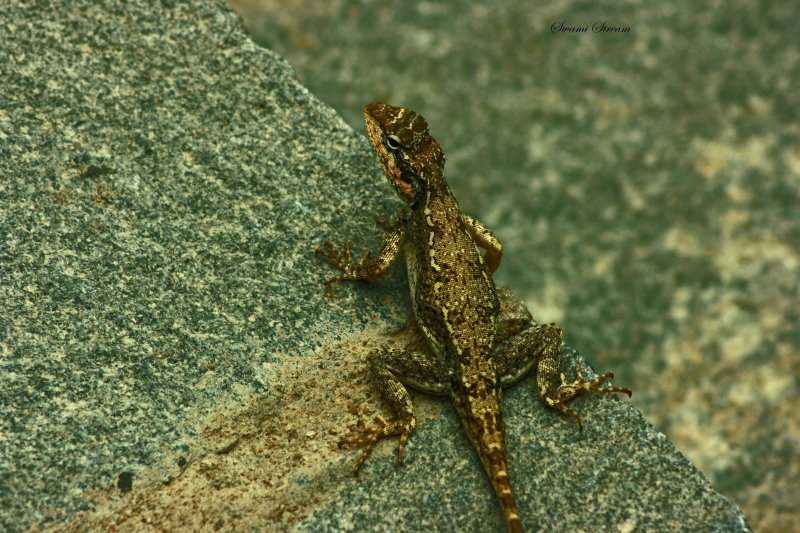 Psammophilus dorsalis-South Indian Rock Agama