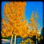 Autumn colors of yellow and gold on Stanford