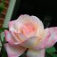 "Pretty in pink ...      ""A rose is a rose is a rose"""