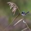 Male Superb Fairy Wren.