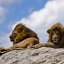Male Lions on Rock