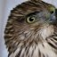 Injured Coopers Hawk Rehabber