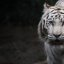 What's up, dude? Never seen a white tiger before?