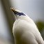blue eye (ID'd:   Bali Starling)