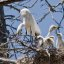 Great Egret (Ardea alba) chicks with parent in nest, Morro Bay H