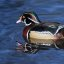Wood Duck, Aix Sponsa ,  Martin Mere December 2008
