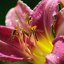 flies on a lilly