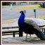 Peacock on a Picnic Table (4 of 4)