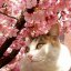 Cat under the cherry blossoms 1