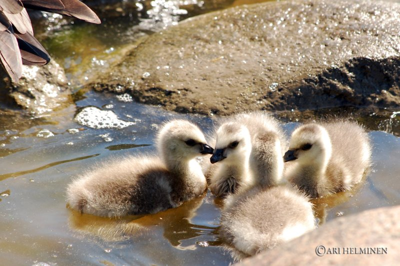 Canadian Goose chatting group