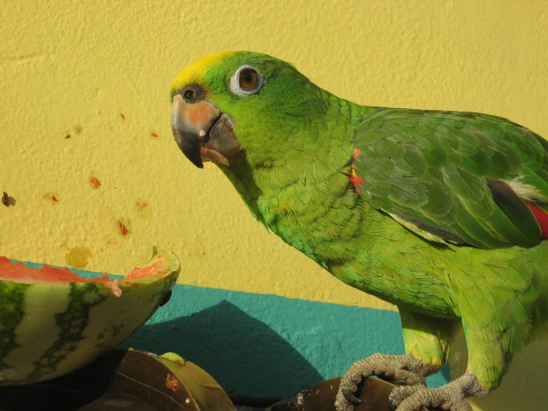 have you ever seen a parrot eating watermelon?