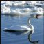 Lake Ontario Swan (Curved Neck)