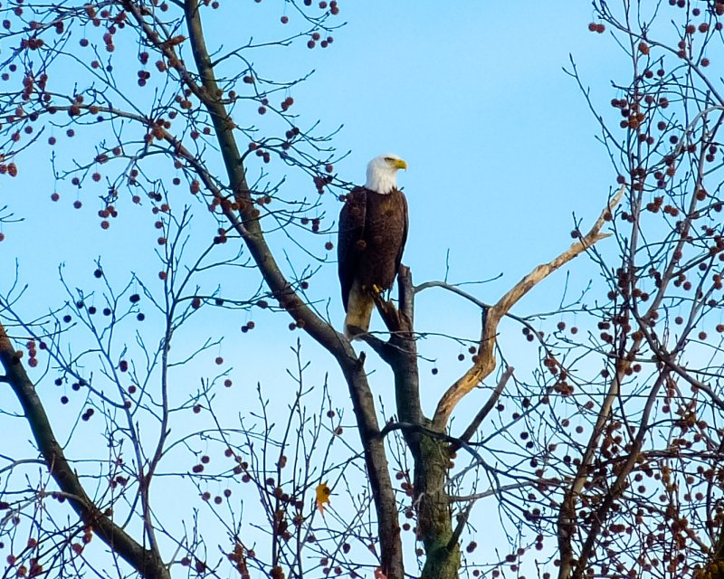 Bald Eagle on the Maurice River
